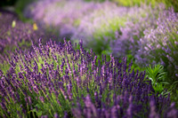Lockwood Lavender Farm-4