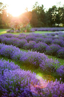Lockwood Lavender Farm-9