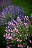 Lockwood Lavender Farm-7
