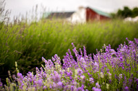 Lockwood Lavender Farm-1