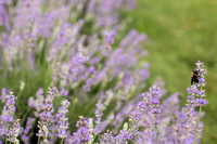 Lockwood Lavender Farm-3